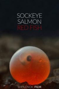 Sockeye Salmon. Red fish<p>(Russia)